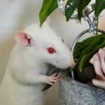how to keep pet rats