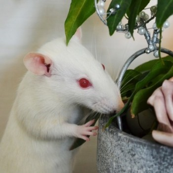 how to keep pet rats