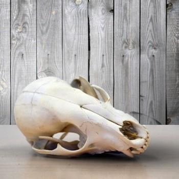 cabinet of curiosities skull