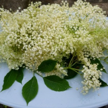 elderflower-heads